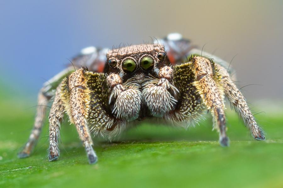 Habronattus, paradise spider, Habronattus nmex, jumping spider, salticidae, , photo