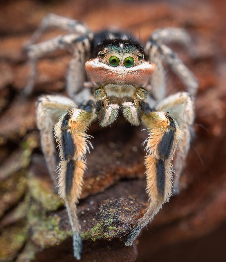 habronattus, tarsalis, mustaciata, paradise spider, salticidae, jumping spider, photo