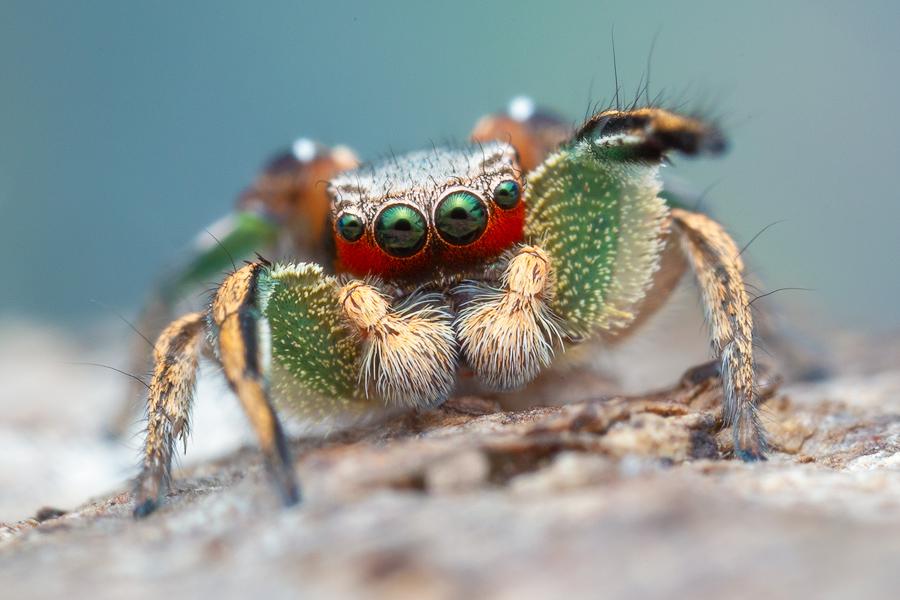 Habronattus pyrrithrix, habronattus, paradise spider, salticidae, jumping spider, photo