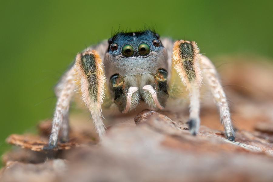 habronattus tarsalis, paradise spider, jumping spider, salticidae, california, , photo