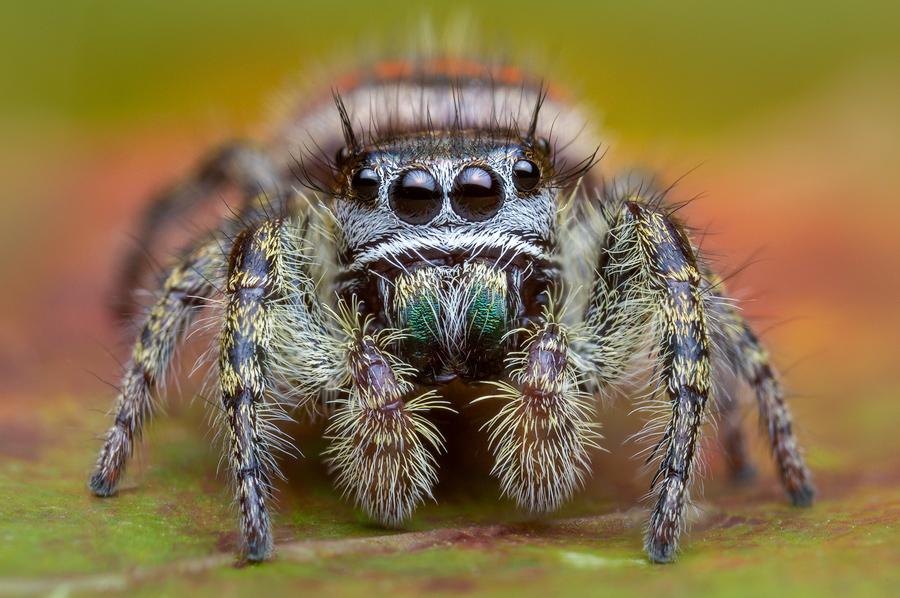 phidippus pheonix, phidippus, salticidae, jumping spider, photo
