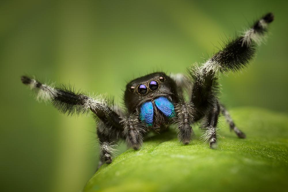 Phidippus, regius, jumping spider, spider, salticidae, florida, courtship, male, regal jumper , photo