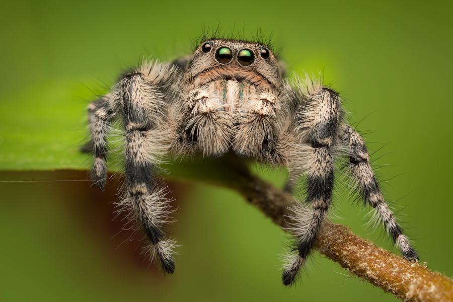 jumping spider, phidippus, salticidae, macro, patrick zephyr, spider, arachnid, phidippus adumbratus, photo