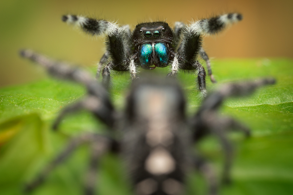 This is the time of year for Phidippus audax breeding. This is a species that is abundant in MA and probably the most wide spread...