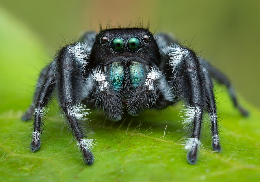 Phidippus carneus, salticidae, jumping spider, photo