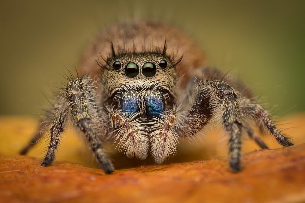 phidippus princeps, salticidae, jumping spider, photo