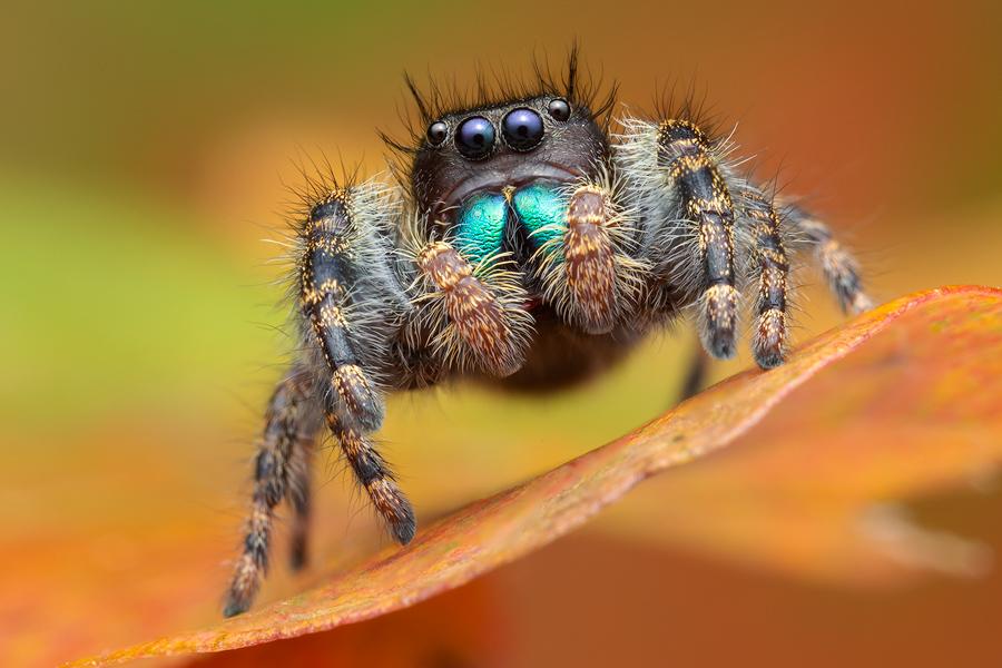 Phidippus, phidippus audax, bold jumper, salticidae, jumping spider, photo