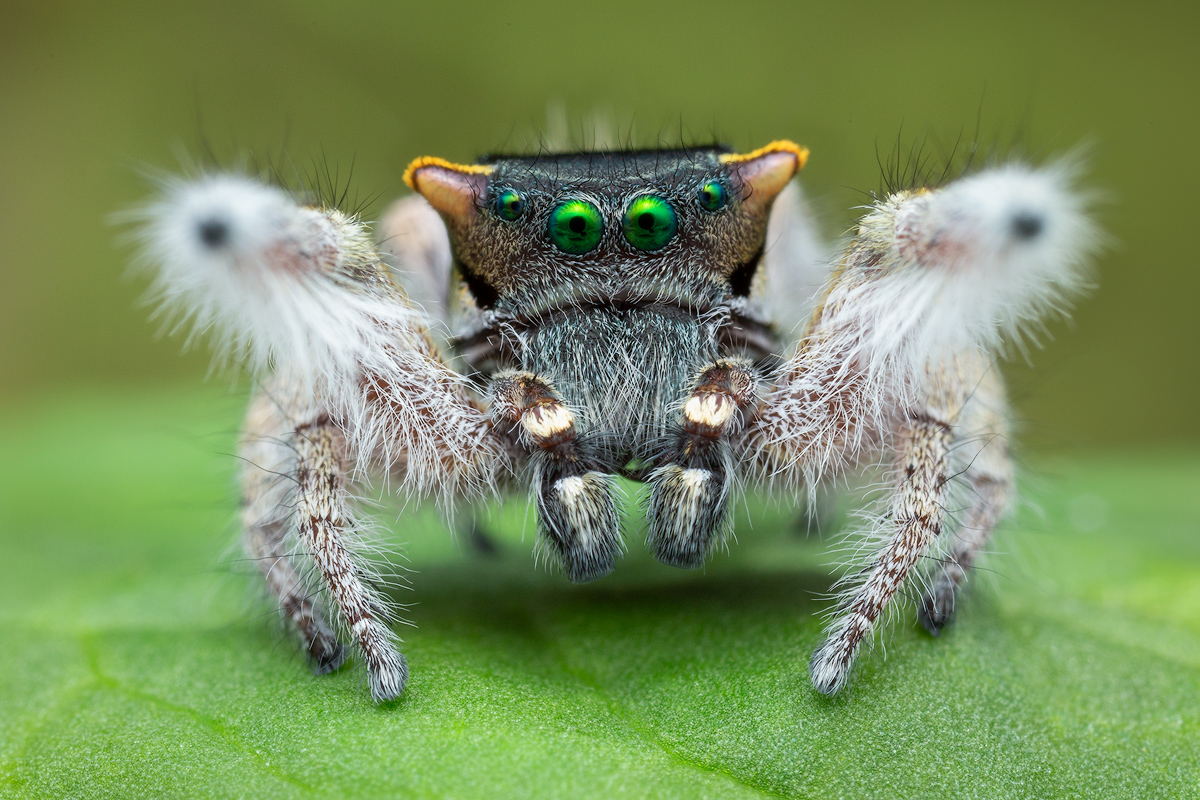 The newest member of the genus Phidippus and the first new species described since 2004!!! What a special spider!