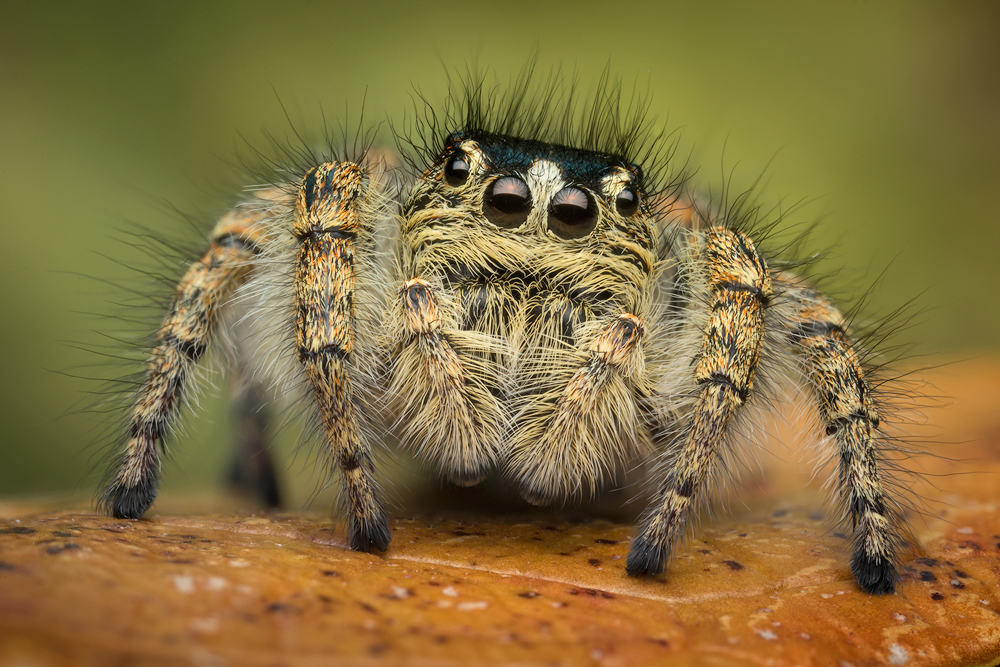 jumping spider, philaeus chrysops, spider, salticidae, macro, female, photo
