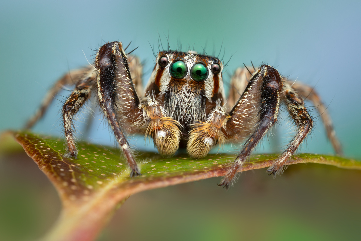 Adult male. An invasive species here in North America. The pantropical jumping spider is native to south east Asia.