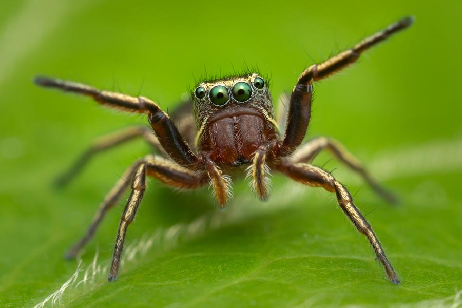 jumping spider, salticidae, Patrick Zephyr, Massachusetts,Tutalina similis