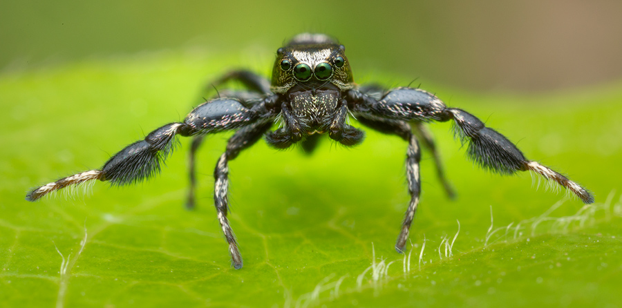 jumping spider, salticidae, Patrick Zephyr, Massachusetts,Tutalina harti