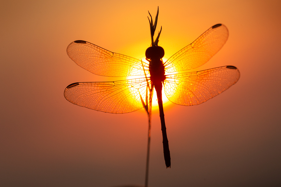 dragonfly, sunrise, silhouette, meadow hawk, dawn, massachusetts, patrick zephyr, photo