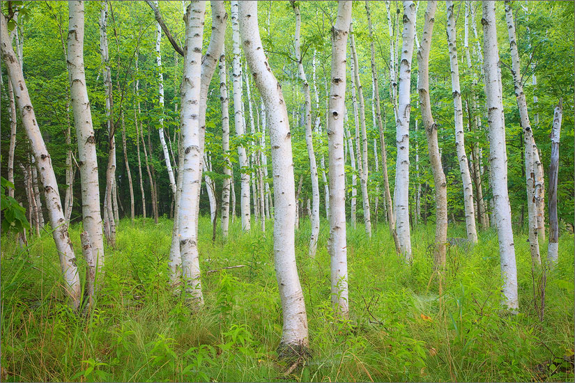 Birch trees, Acadia national park, Maine, summer, photo
