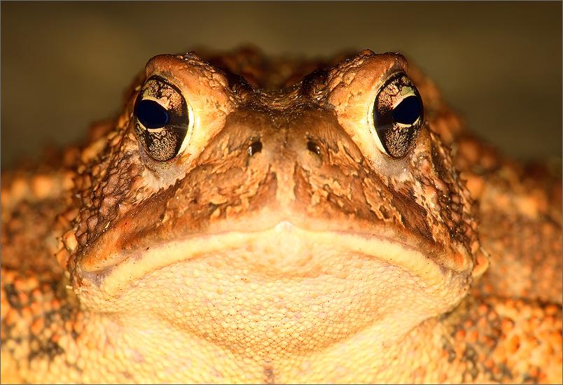 amphibian, herp, frog, toad, anura, photo