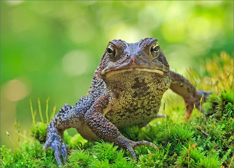 amphibian, herp, frog, toad, Bufo americanus, american toad, anura, photo
