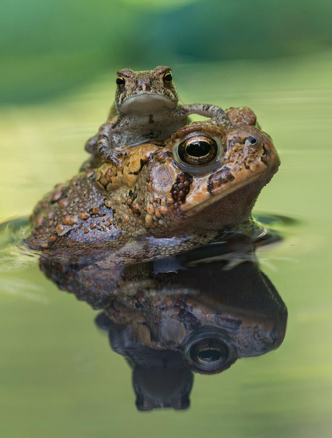 american toad,Anaxyrus americanus, amphibian, toads, Patrick Zephyr