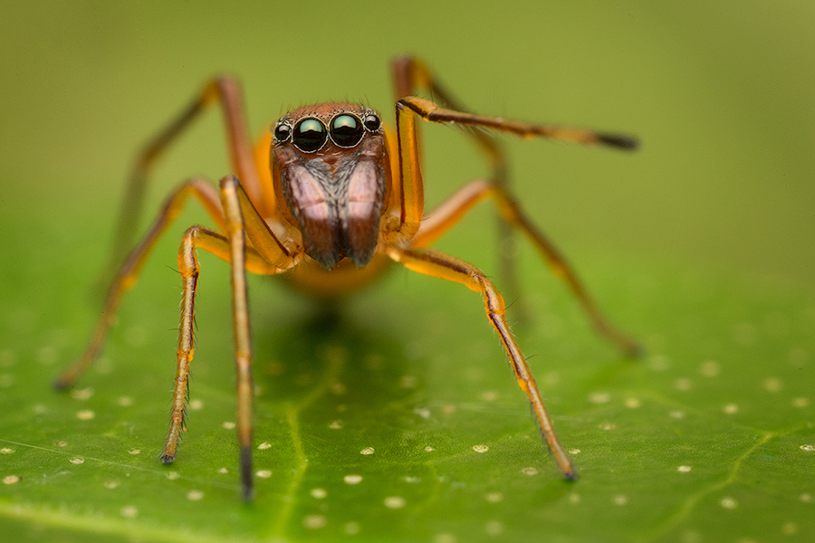 jumping spider, ant mimic, salticidae, photo