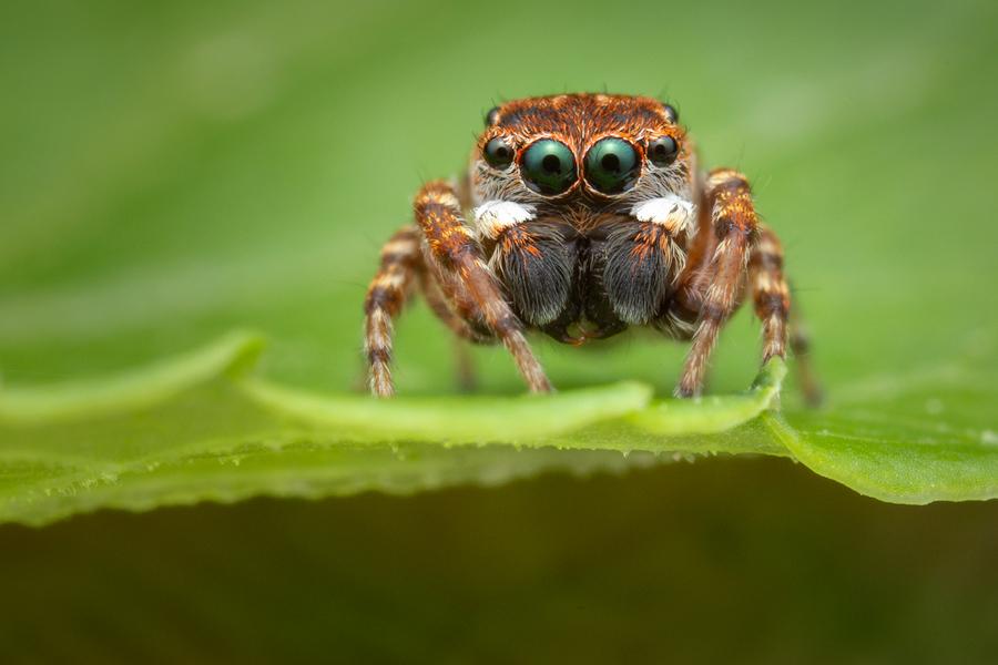 salticidae, jumping spider, massachusetts, attulus floricola, photo