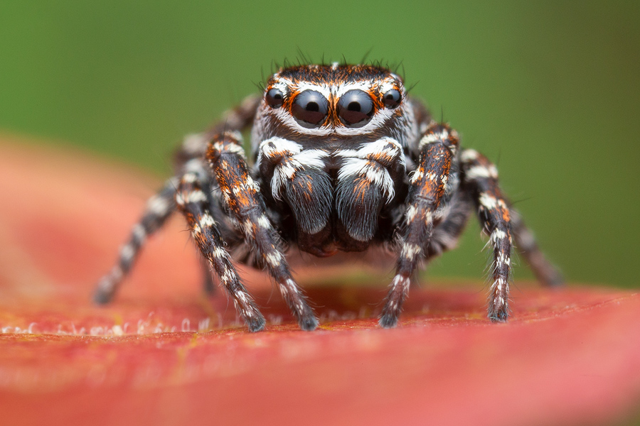 jumping spider, salticidae, Patrick Zephyr, Massachusetts,Attulus floricola