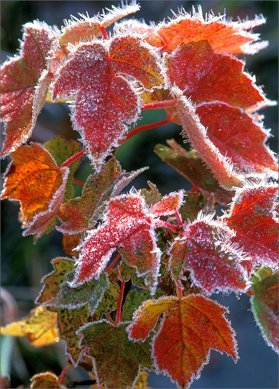 Frost, autumn, leaves, red, photo