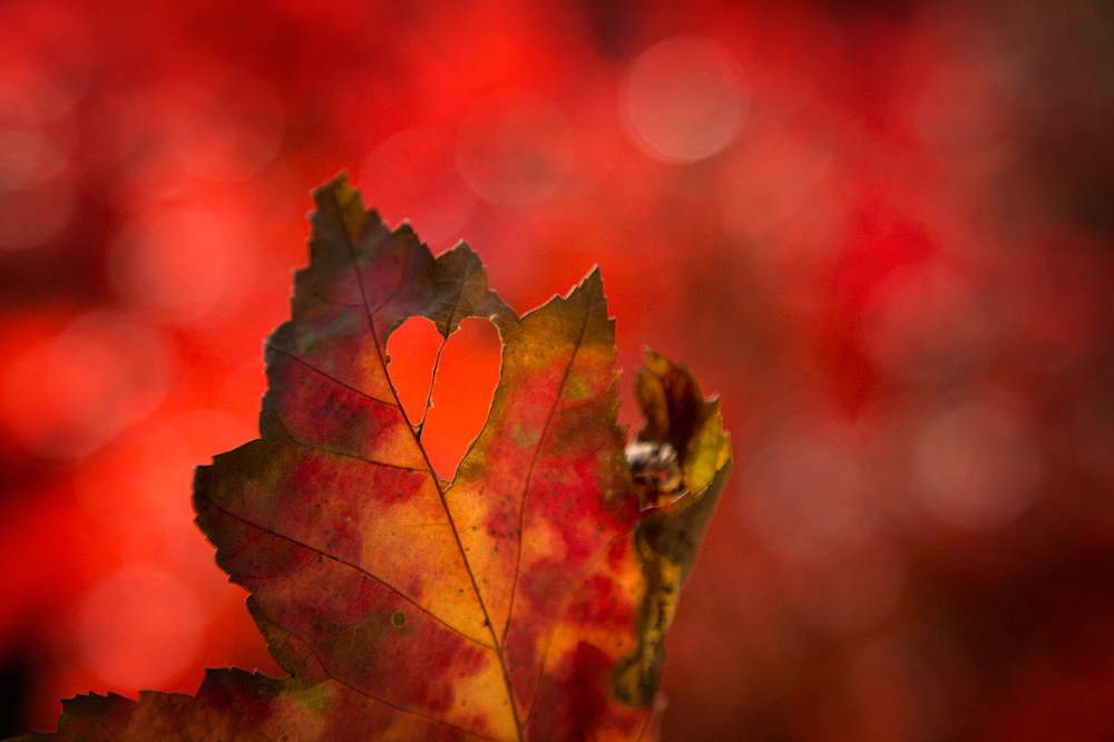 love, heart, leaves, red, autumn, massachusetts, New England, photo