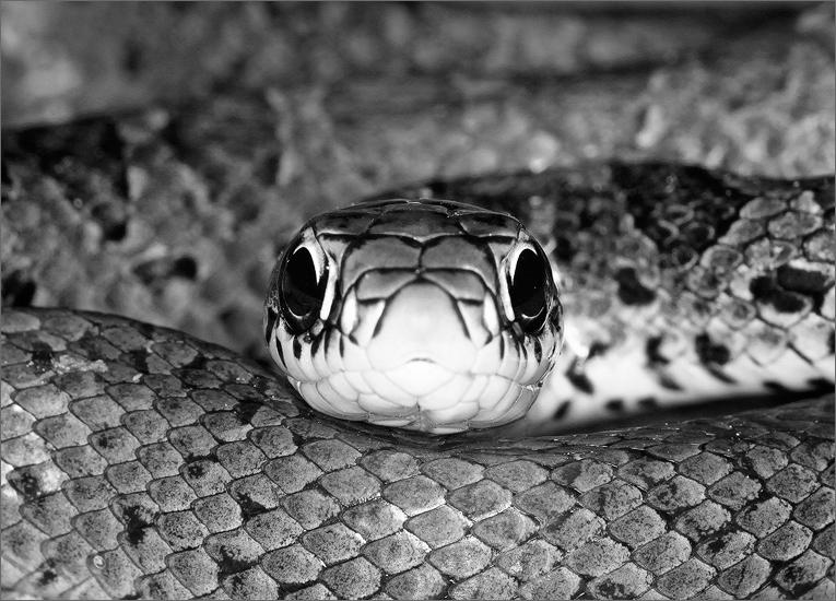 Northern black racer, Coluber c constrictor, snake