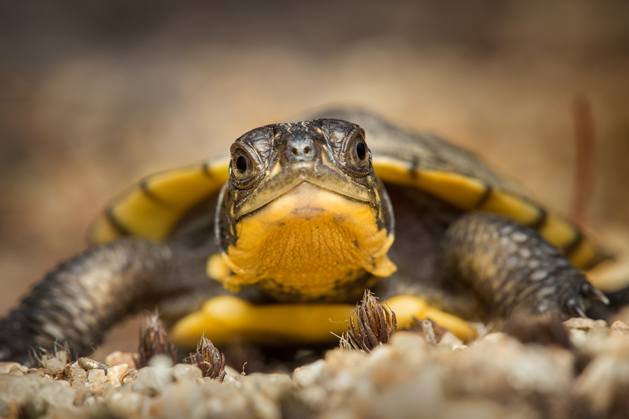 blandings turtle, hatchling, turtle, Emydoidea blandingii, photo