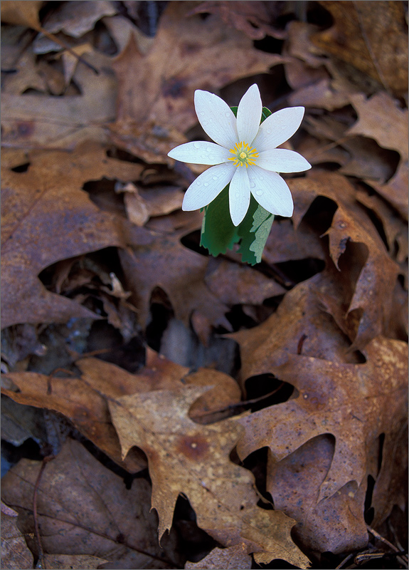 Blood root, flower, photo