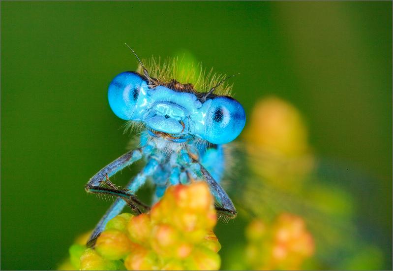 insect, damselfly, zygoptera, bluet, , photo
