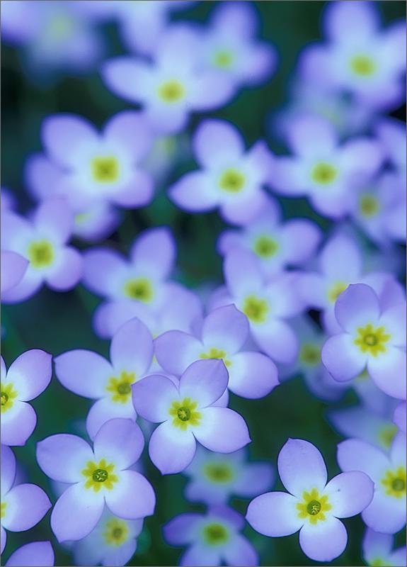 Bluets, flower