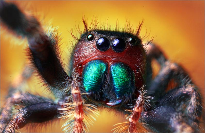 bold jumper, phidippus audax, spider, salticidae, jumping spider, photo