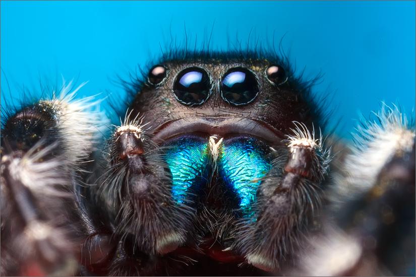 jumping spider, spider, bold jumper, phidippus audax, salticidae