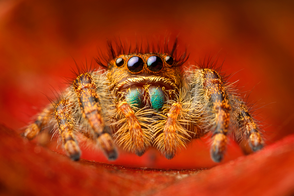 A very common jumper here in Massachusetts. This was one of my first jumping spider images and it began my obssesion with the...