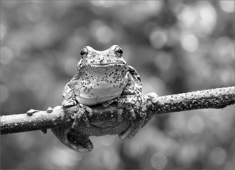Tree frog, gray tree frog, hyla versicolor, amphibian, frog, photo