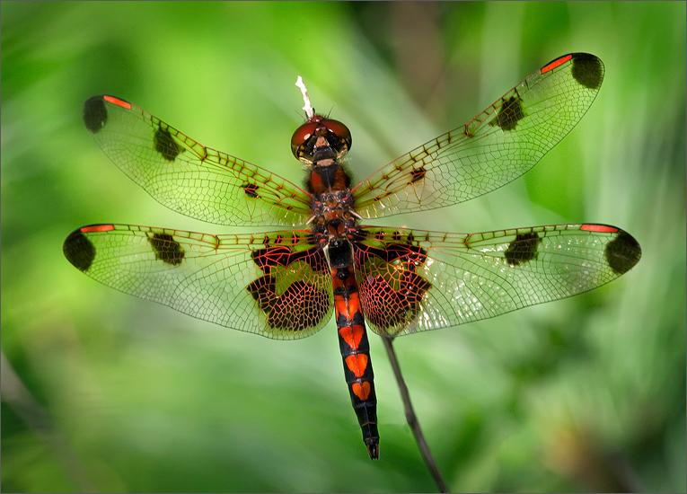 dragonfly, calico pennant, Celithemis elisa, male, odonata, photo
