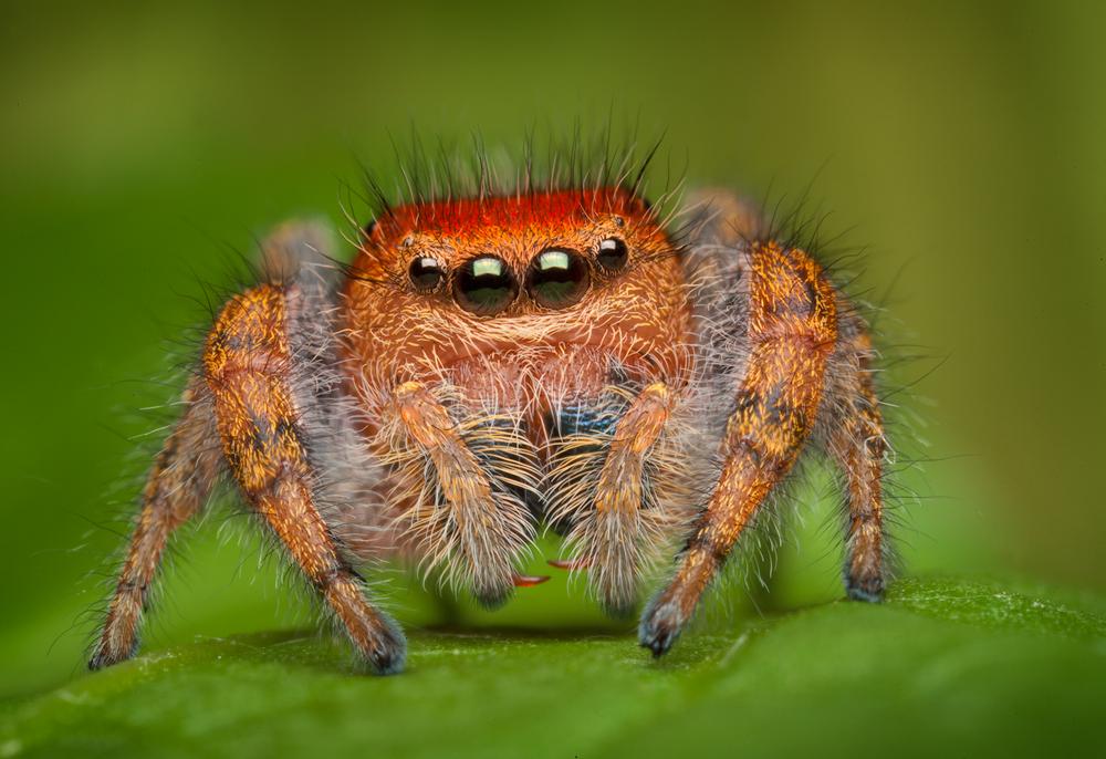 jumping spider, spider, salticidae, arachnid, Massachusetts, Phidippus, Cardinalis, cardinal jumper, red, , photo
