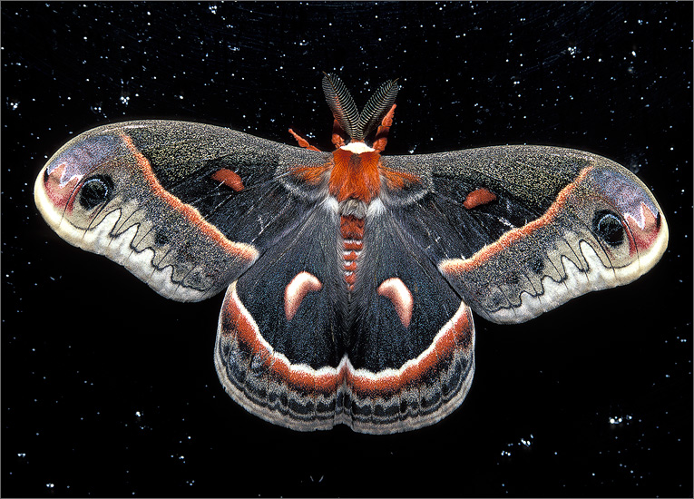 insect, moth, cecropia moth, photo