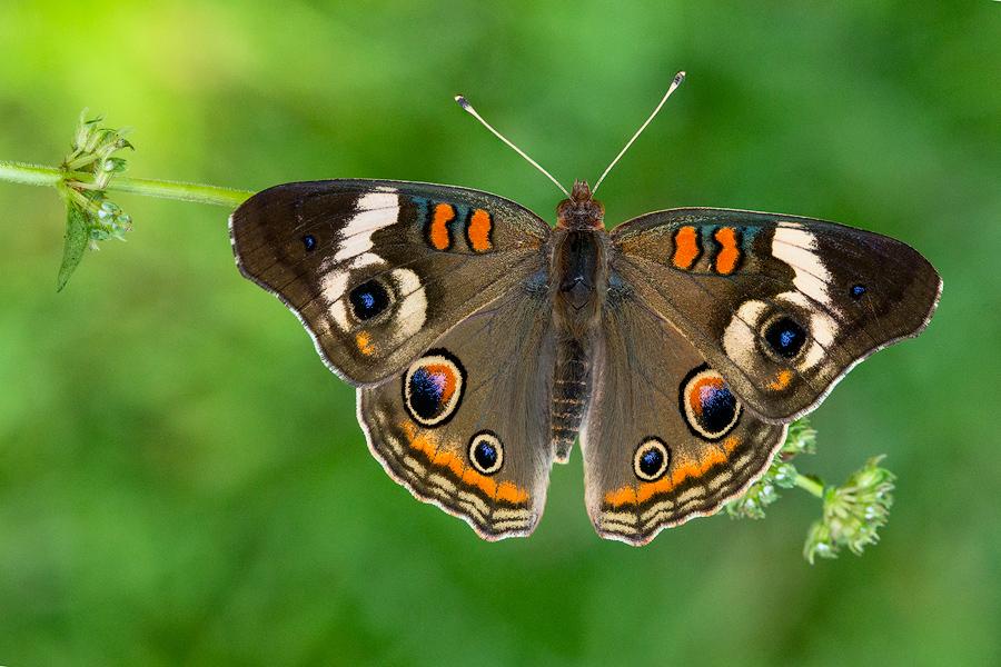 Rhopalocera, Lepidoptera, butterfly, Junonia coenia, common buckeye, photo