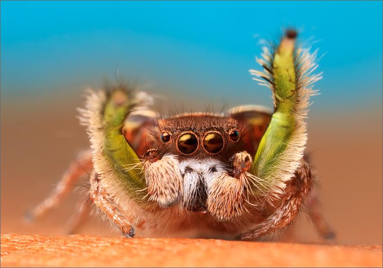 spider, jumping spider, arachnida, salticidae, insect, habronattus viridipes, photo