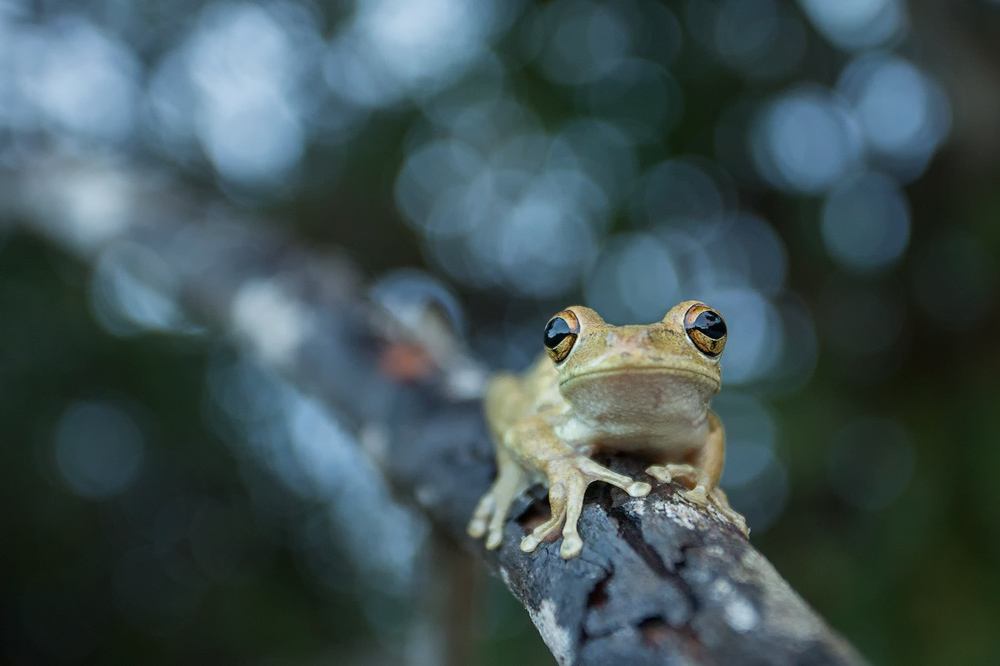 It seems that tree frogs like to hide out in the same places that jumping spider do :-) I found a bunch of treefrogs while I...