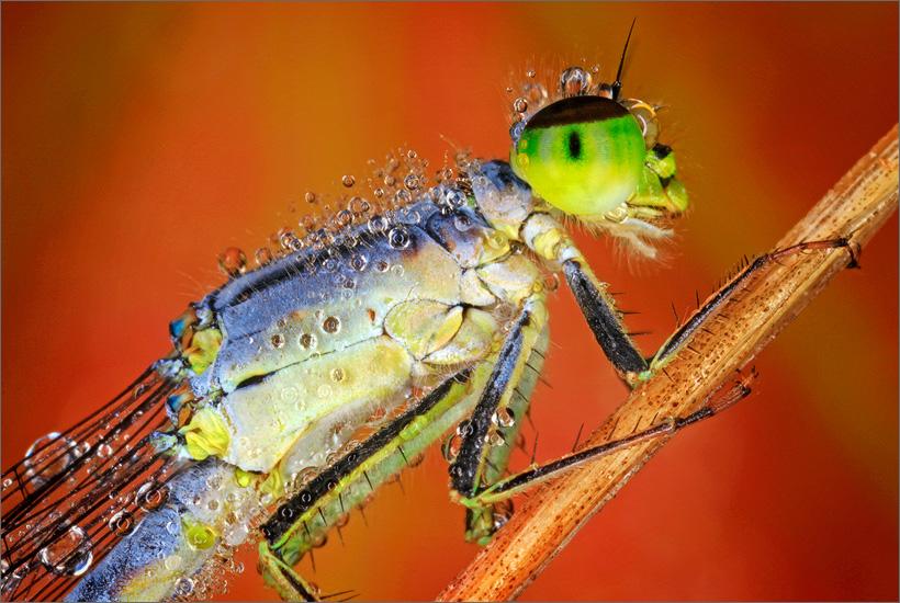 insect, damselfly, zygoptera, , photo