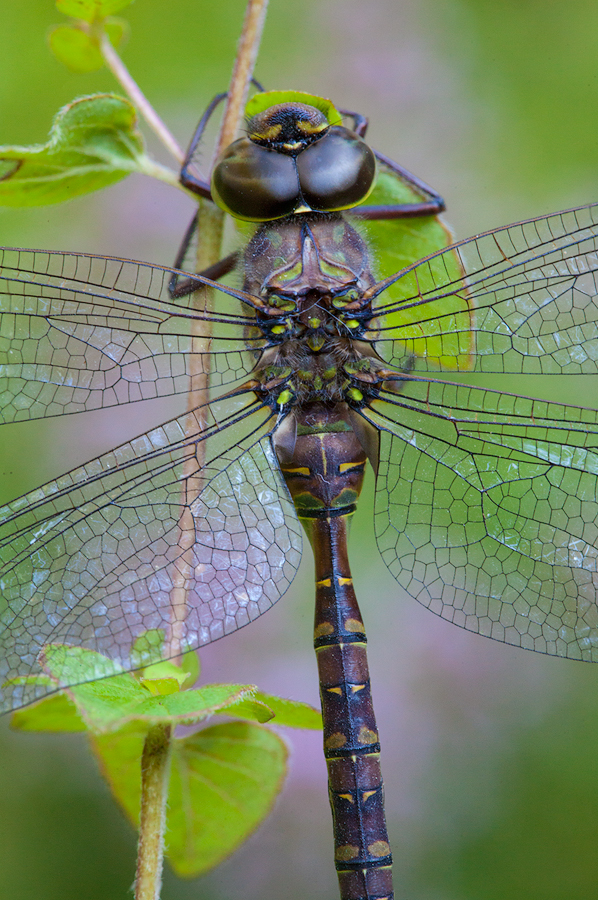 dragonfly, blue, darner, morning, dew, massachusetts, patrick zephyr, macro, photography, photo