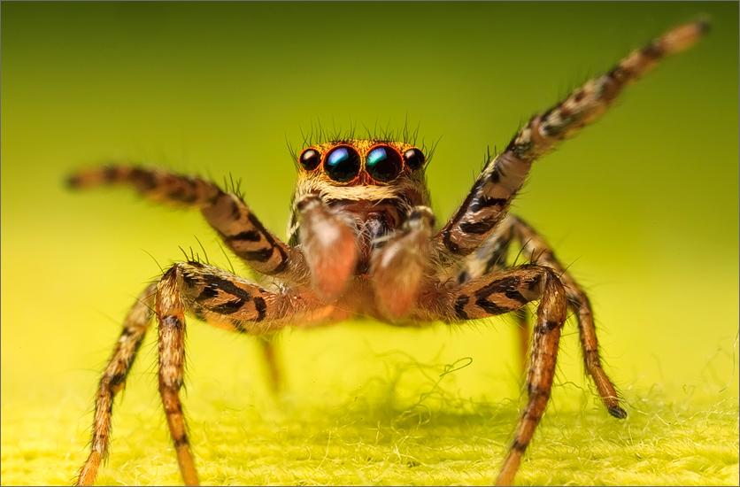 jumping spider, spider, arachnida, salticidae, insect, dimorphic jumper