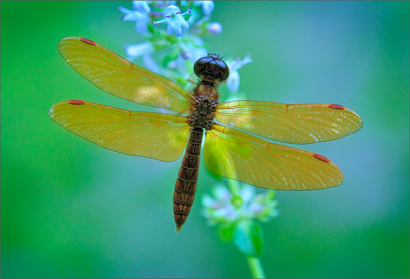 A small beautiful dragonfly I spent many hours trying to photograph last summer with no luck. After an afternoon of paddle boarding...