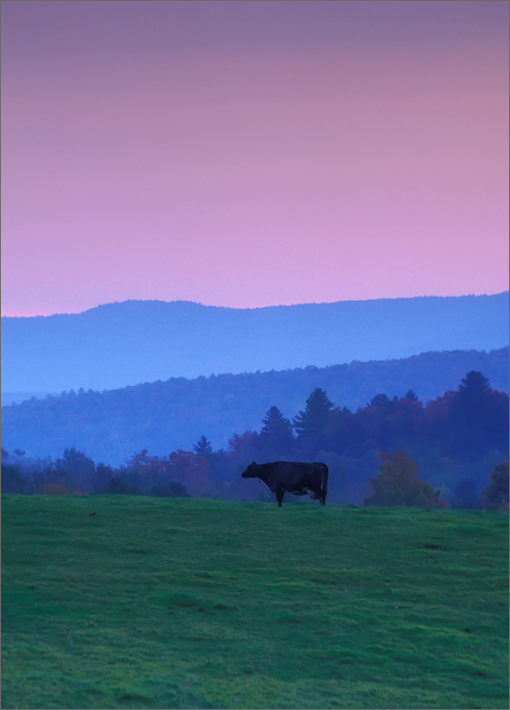 Vermont, sunrise, cow, pink