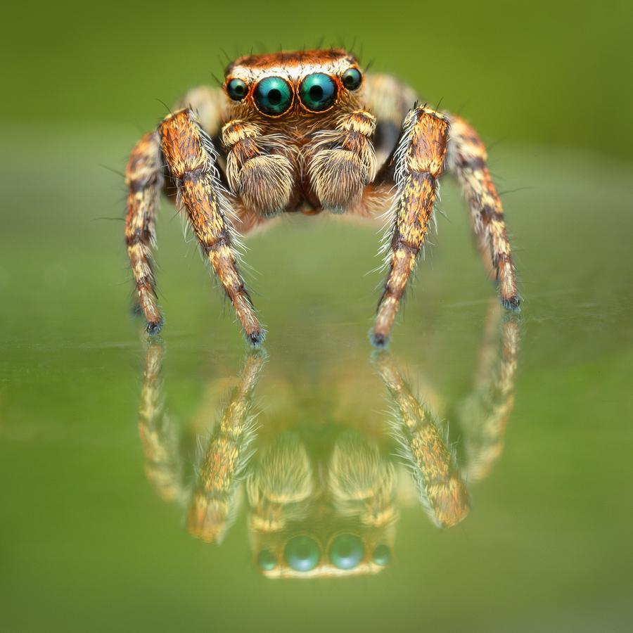 jumping spider, salticidae, Patrick Zephyr, Massachusetts,Evarcha hoyi