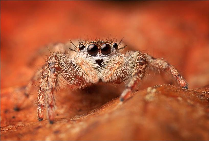 spider, jumping spider, arachnida, salticidae, insect, familiar jumper