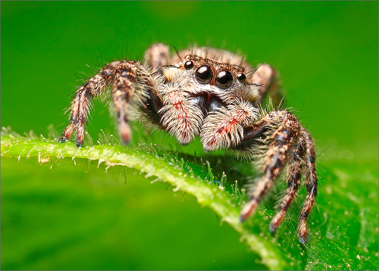 jumping spider, spider, arachnida, salticidae, familiar jumper, platycryptus undatus, photo