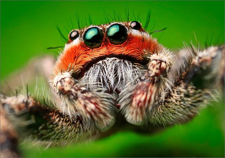 spider, jumping spider, arachnida, salticidae, insect, familiar jumper, photo